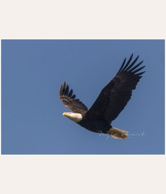 Vancouver_Island_Nature_Photography_Bald_Eagle-00089239-Edit