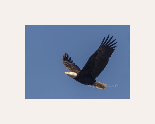 Vancouver_Island_Nature_Photography_Bald_Eagle-00089239-Edit