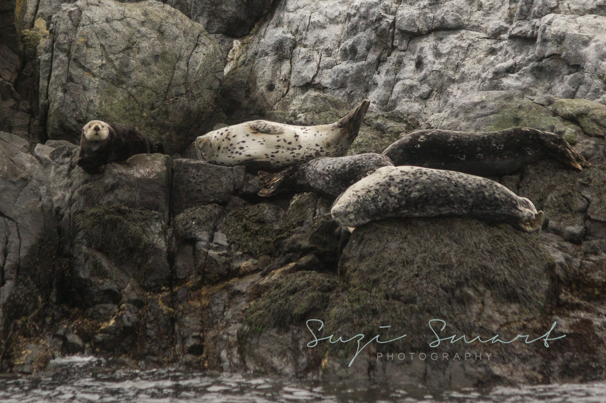 Sea otter at Race Rock Ecological Researve