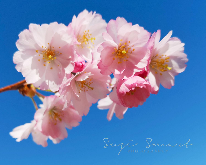 Victoria BC Cherry Blossoms