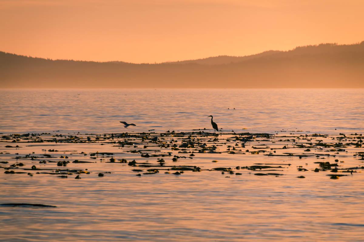 Blue Heron at Sunset, Victoria BC